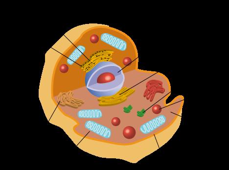 Cellule Humaine organisation du corps humain